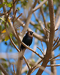 Brown-headed Cowbird, Sepulveda Wildlife Refuge, Southern California