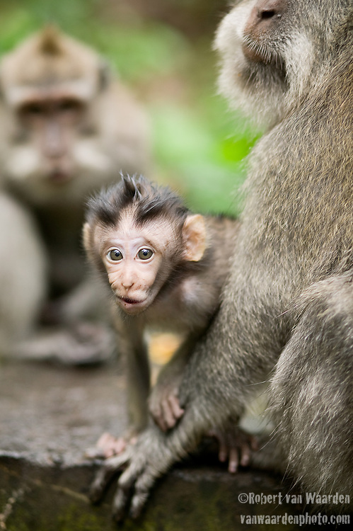 An infant long-tailed macaque, (Macaca fascicuiaris), looks curiously at the camera.