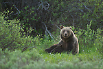 A grizzly bear (grizzly 610) nurses her two cubs in a meadow in Grand Teton National Park, Wyoming.