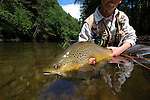 Brown trout release on Fishing Creek in PA