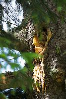 Fichtenharz, Fichten-Harz, Baumharz, Harz, Harztropfen, liquid pitch, tree gum, galipot, gallipot. Gewöhnliche Fichte, Fichte, Rot-Fichte, Rotfichte, Picea abies, Common Spruce, Spruce, Norway spruce, L'Épicéa, Épicéa commun