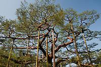 Supports holding up an ancient and artfully twisted pine at Kenrokuen Garden, Kanazawa, Japan.