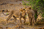 African Lion (Panthera leo) two year old males, Mudumu National Park, Namibia