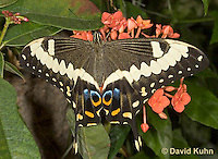 0401-08rr  Emperor Swallowtail Butterfly, Papilio ophidicephalus © David Kuhn/Dwight Kuhn Photography