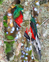 White-tipped quetzal male