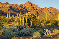 "Organ Pipe, cholla and saguaro cactus with the Ajo Mountain Range in Organ Pipe Cactus National Monument, Arizona.  This is a scene along the backroad on the ""Ajo Mountain Drive."""