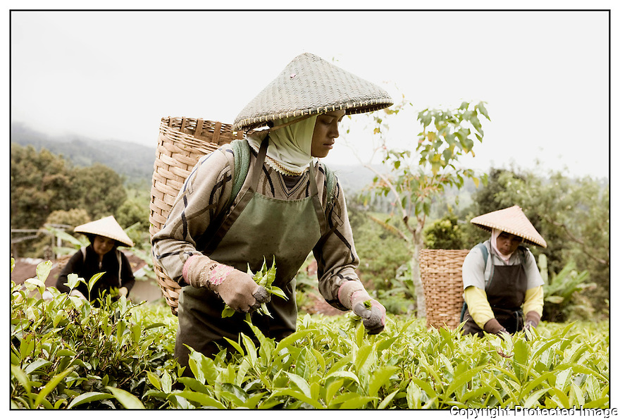 Ile de Java<br /> Près de Jakarta<br /> cueillette du thé