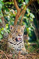 jaguar, Panthera onca, Pantanal, Brazil