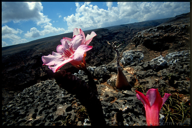 Socotran Desert Rose trees (Adenium obesum sokotranum) are seen growning in limestone on the island of Socotra, Yemen on Wednesday, 18 May 2005. The bizare looking plants hold water in their swollen trunks.<br />