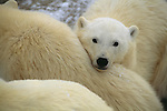 A portrait of a polar bear cub snuggled close to its family.
