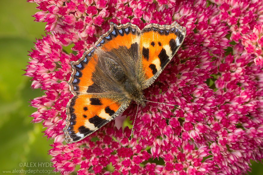Small Tortoiseshell butterfly {Aglais urticae}  feeding on Ice Plant {Sedum sp.}. Peak District National Park, Derbyshire, UK. September.