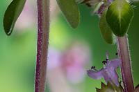 Thymian-Stängel, vierkantiger Stängel, Feld-Thymian, Thymian, Wilder Thymian, Feldthymian, Quendel, Breitblättriger Thymian, Arznei-Thymian, Gemeiner Thymian, Gewöhnlicher Thymian, Quendel-Thymian, Arzneithymian, Thymus pulegioides, Thymus pulegioides ssp. pulegioides, Sammelart Thymus pulegioides, Thyme, Wild Thyme, broad-leaved thyme, lemon thyme, Le thym faux pouliot, le thym à larges feuilles, le thym de bergère