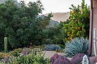 Native California Live Oak tree (Quercus) edging drought tolerant, summer-dry garden wiht succulents; Carpinteria California