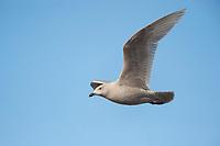 "Immature, 1st winter ""Kumlien's"" Iceland Gull (Larus glaucoides kumlieni) in flight. Tompkins County, New York. January."