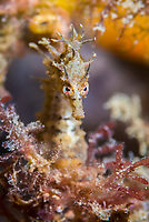 knobby seahorse, or short-head seahorse, Hippocampus breviceps, being camouflaged, Blairgowrie Jetty, Melbourne, Victoria, Australia