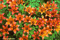 LL04-003b  Flower Garden - Lilies -Rosefire