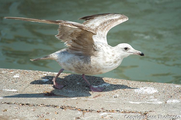 Herring Gull, Goose Island State Park, Texas