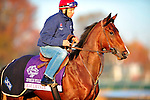 November 2, 2011: Dear Lavinia, trained by Jean-Claude Rouget and to be ridden by Christophe Lemaire exercises in preparation for the 2011 Breeders' Cup at Churchill Downs on November 2, 2011.