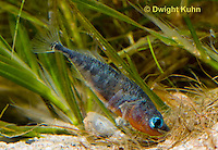 1S22-564z  Male Threespine Stickleback shaping nest by pushing plant materials with it mouth, mating colors showing bright red belly and blue eyes,  Gasterosteus aculeatus,  Hotel Lake British Columbia