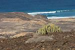 Saeulenkaktus, Cofete, Fuerteventura
