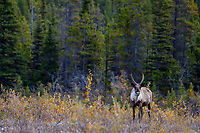 Woodland Caribou or forest-dwelling caribou (Rangifer tarandus caribou) cow.  British Columbia.  Fall.