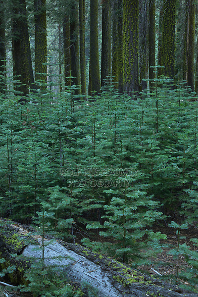 Red Fir (Abies magnifica) new growth, Yosemite National Park, California, USA