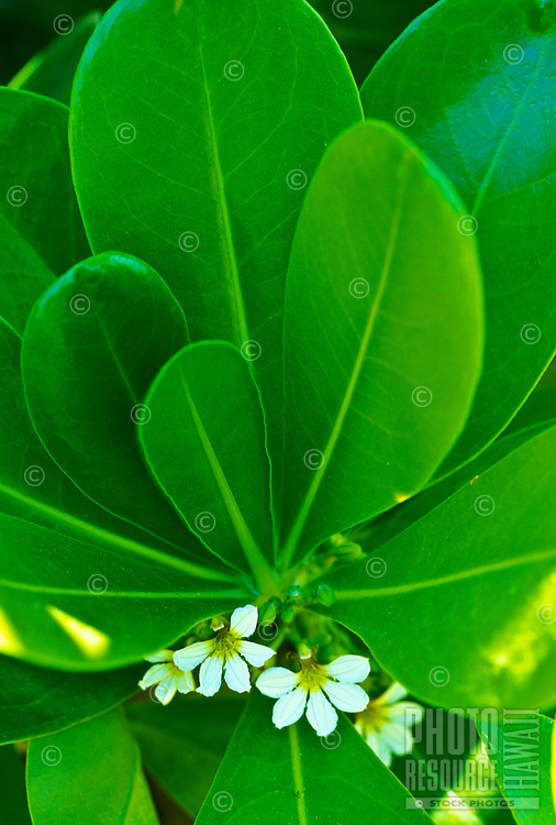 The naupaka plant. A Hawaiian legend says the half-flowers represent two lovers--one, the beach naupaka and the other, the mountain naupaka--forever separated and never to come together as a complete flower. Beach naupaka have floating seeds, broad