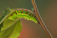 Dromedar-Zahnspinner, Dromedarspinner, Erlen-Zahnspinner, Raupe, Notodonta dromedarius, Iron Prominent, caterpillar, Le Chameau, Zahnspinner, Notodontidae