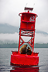 Harbor seals resting on floating buoy, Petersburg, Stikine LeConte Wilderness, Tongass National Forest, Southeast, Alaska, USA