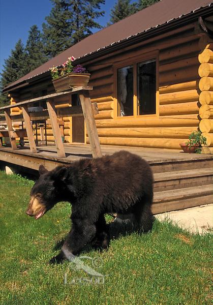 Black Bear near rural home..Summer. Rocky Mountains..(Ursus americanus).