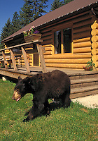 Black Bear near rural home..Summer. Rocky Mountains..(Ursus americanus).