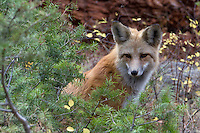"""The red fox (Vulpes vulpes) has been documented in Yellowstone since the 1880s. In relation to other canids in the park, red foxes are the smallest. Adult foxes weigh 9-12 pounds; coyotes average 28 pounds in Yellowstone; and adult wolves weigh closer to 100 pounds. Red foxes occur in several color phases, but they are usually distinguished from coyotes by their reddish yellow coat that is somewhat darker on the back and shoulders, with black """"socks"""" on their lower legs. """"Cross"""" phases of the red fox (a dark cross on their shoulders) have been reported a few times in recent years near Canyon and Lamar Valley. Also, a lighter-colored red fox has been seen at higher elevations.<br /> Foxes feed on a wide variety of animal and plant materials. Small mammals such as mice and voles, rabbits, and insects comprise the bulk of their diet. Carrion seems to be an important winter food source in<br /> some areas. The many miles of forest edge and extensive semi-open and canyon areas<br /> of the park seem to offer suitable habitat and food for foxes. They are widespread<br /> throughout the northern part of the park with somewhat patchy distribution elsewhere in the park. Foxes are more abundant<br /> than were previously thought in<br /> Yellowstone, yet they are not often seen because they are nocturnal, usually forage<br /> alone, and travel along edges of meadows and forests. During winter, foxes may increase their activity around dawn and<br /> dusk, and even sometimes in broad daylight. In late April and May, when females are nursing kits at their dens, they are sometimes more visible during daylight hours, foraging busily to get enough food for their growing offspring. NPS Yellowstone Resource 2011."""