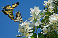 Two Western Tiger Swallowtail (Papilio rutulus).  Mock-orange.  Pacific Northwest.  Male swallowtail (flying) is checking for pheromones from nectaring swallowtail.