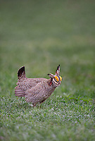 572110245 a wild lesser prairie chicken tympanuchus pallidicintus displays and struts on a lek on a remote ranch near canadian in the texas panhandle