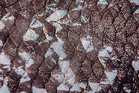 coelacanth, Latimeria menadoensis, close-up of scales, Bunaken National Park, Indonesia, Pacific Ocean
