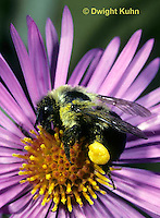 BU04-039z Bumblebee worker collecting nectar and pollen, Bombus impatiens