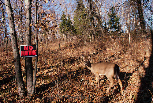"""White tail doe stands next to """"No Hunting"""" sign, Maine USA"""
