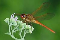 Needham's Skimmer, Libellula needhami, adult on Rose Palafoxia (Palafoxia rosea), Willacy County, Rio Grande Valley, Texas, USA, June 2006