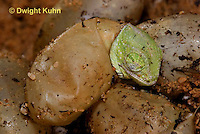 CH43-582z  Veiled Chameleon young hatching from eggs, Chamaeleo calyptratus