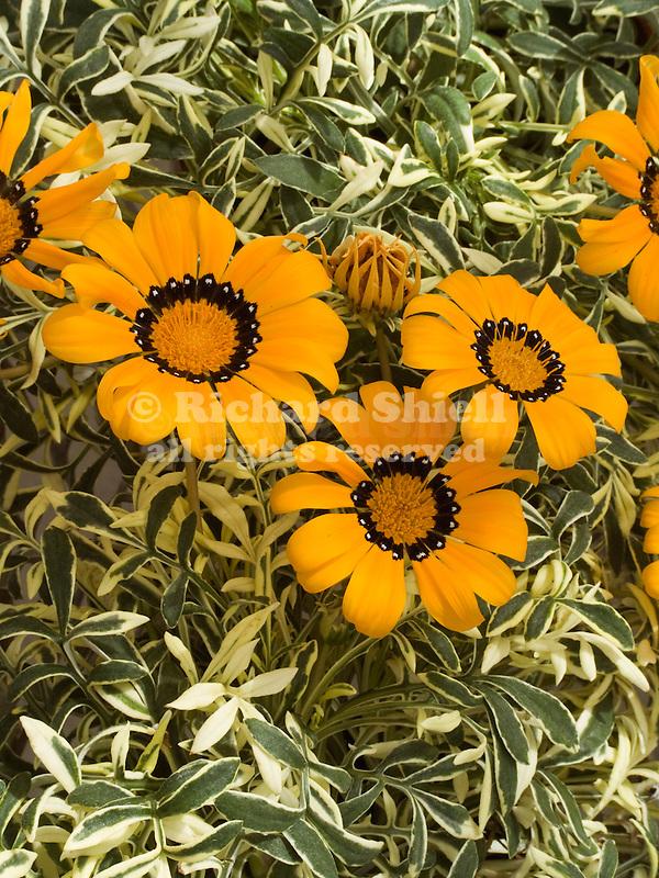 Variegated Orange Gazania ringens
