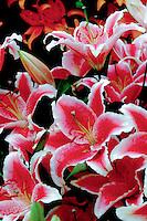 Lilium La Mancha (Oriental Lily) in red with white picotee edge