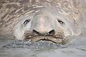 Southern Elephant Seal bull (Mirounga leonina) swimming. King Haakon Bay, South Georgia. November.
