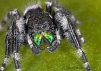 0412-07mm  Regal Jumping Spider - Phidippus regius © David Kuhn/Dwight Kuhn Photography