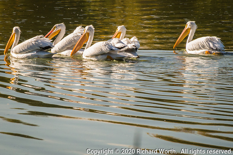 A pod of American white pelicans slowly and meticulously paddles around an urban park's lake looking for food, swimming and occasionally dipping in unison.