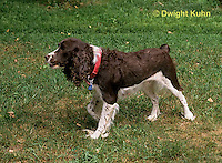 SH22-011z  Dog - English Springer puppies 11 weeks old