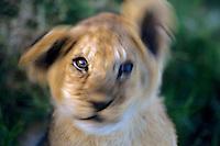 African lion (Panthera leo) cub, Masai Mara National Reserve, Kenya.  Shaking head--probably to get rid of flies.