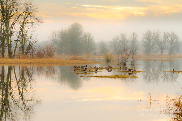 Reflections of the bare trees and cloudy, colored sky is seen in the mirror surface of a lake with Canada Geese and Trumpeter Swans resting in Winter in the Ridgefield National Wildlife Refuge
