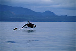 Orcas jump through the water of the Frederick Sound in Alaska.