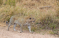MalaMala may be the best place to see wild leopards on earth.  This is individual is known as the Airstrip Male.  Leopards at MalaMala are named after their territory.