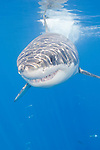 Guadalupe Island, Baja California, Mexico; a large, adult male Great White Shark (Carcharodon carcharias) breaks the water's surface with it's fins while swimming in the blue water